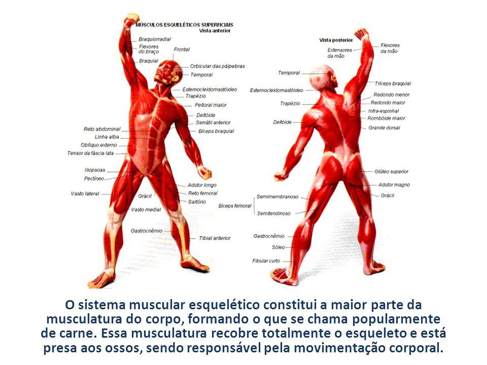 O sistema muscular esquelético constitui a maior parte da musculatura do corpo, formando o que se chama popularmente de carne. Essa musculatura recobr