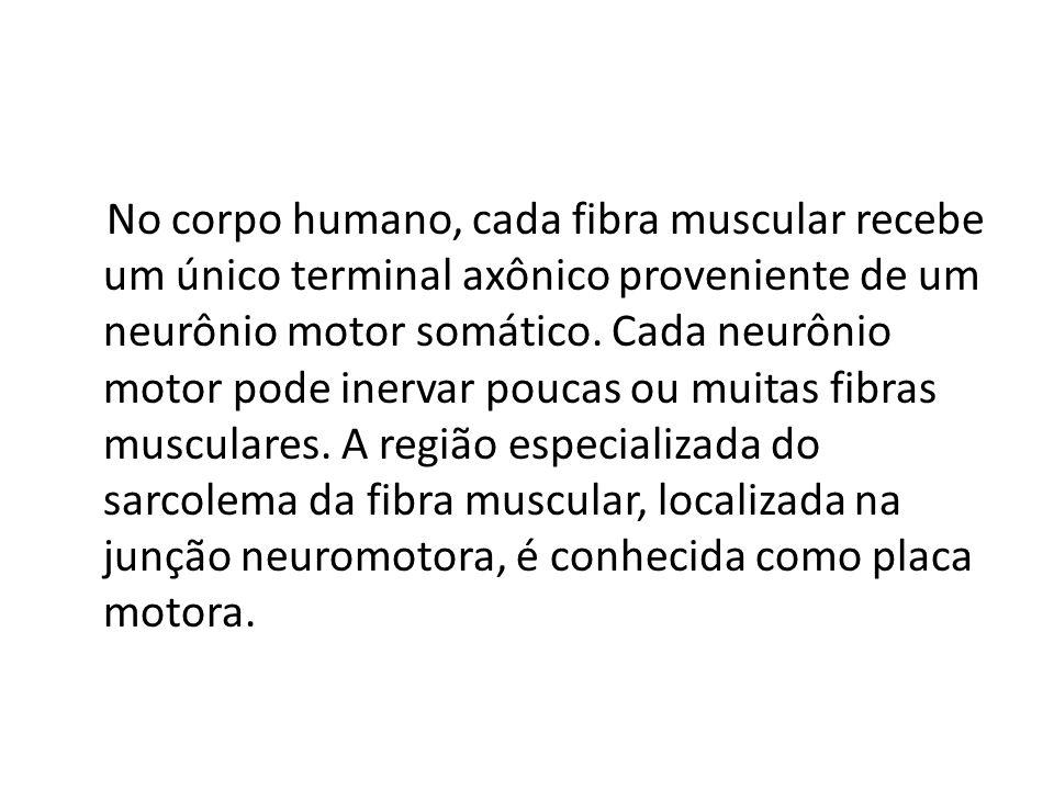 No corpo humano, cada fibra muscular recebe um único terminal axônico proveniente de um neurônio motor somático. Cada neurônio motor pode inervar pouc