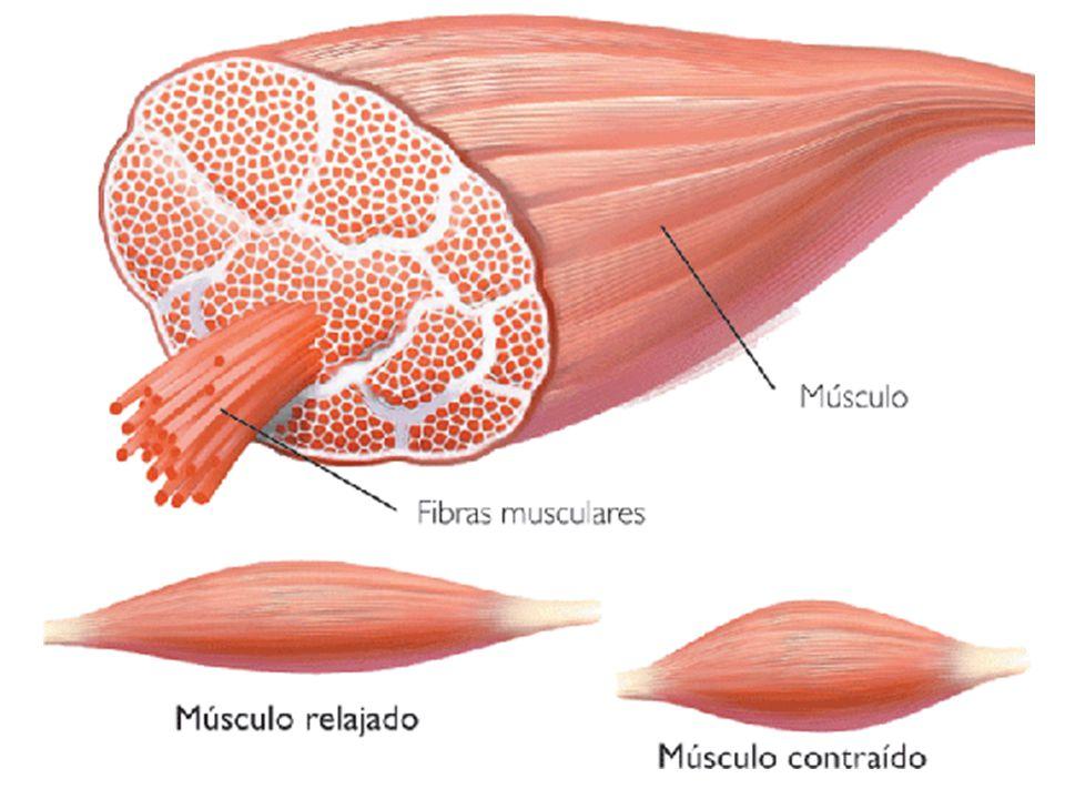 No corpo humano, cada fibra muscular recebe um único terminal axônico proveniente de um neurônio motor somático.