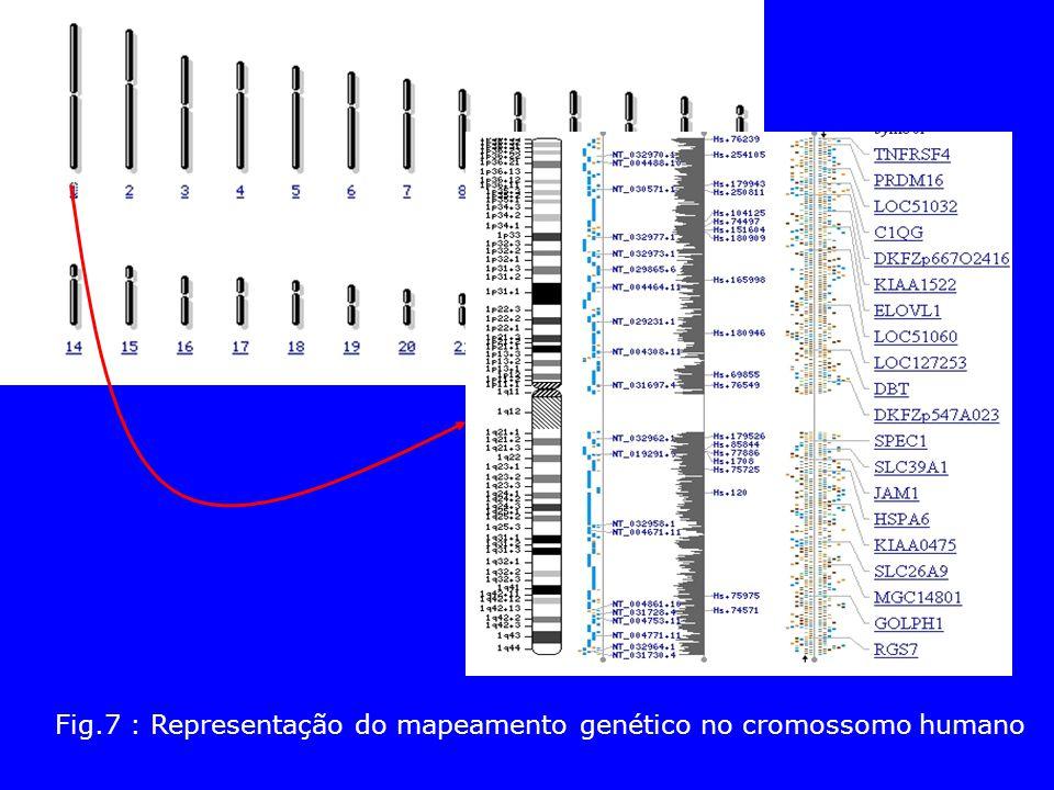 Fig.7 : Representação do mapeamento genético no cromossomo humano