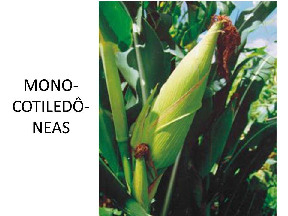MONO- COTILEDÔ- NEAS