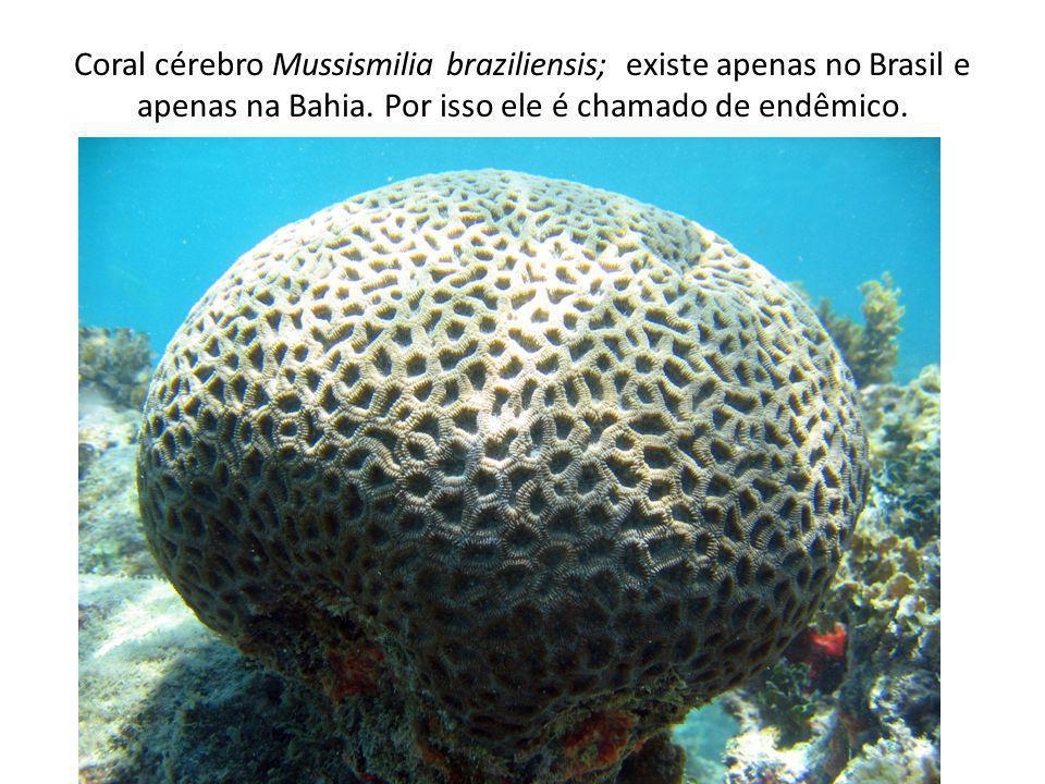 Coral cérebro Mussismilia braziliensis; existe apenas no Brasil e apenas na Bahia. Por isso ele é chamado de endêmico.
