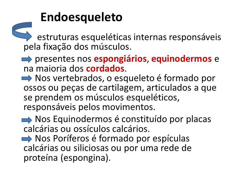 Endoesqueleto estruturas esqueléticas internas responsáveis pela fixação dos músculos. presentes nos espongiários, equinodermos e na maioria dos corda