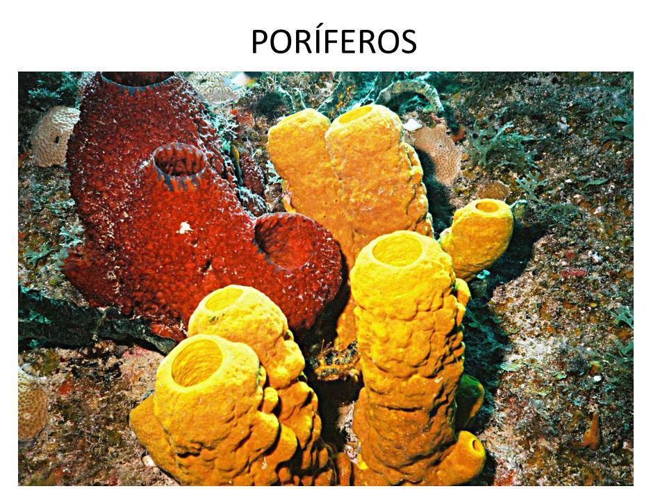 Nas esponjas, o endo - esqueleto é formado por espículas calcarias ou siliciosas ou por uma rede de proteína (espongina)