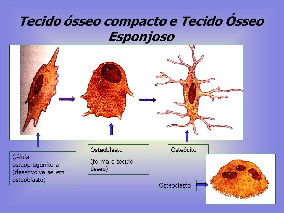 Osso Constituído por: Célula e Matriz extracelular Funções: - Sustentação esquelética. - Reservatório de cálcio. - Produção de células sangüíneas ( Me