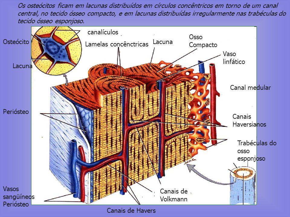Tecido ósseo compacto e Tecido Ósseo Esponjoso Célula osteoprogenitora (desenvolve-se em osteoblasto) Osteoblasto (forma o tecido ósseo) Osteócito Ost
