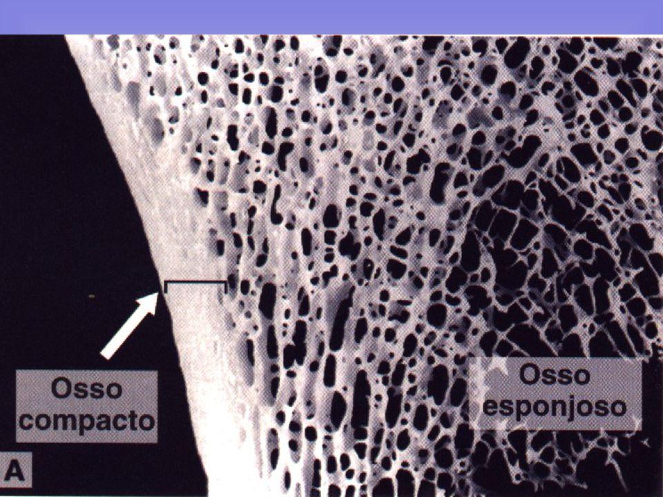 Admitem-se três variedades de tecido ósseo: embrionário, compacto e esponjoso. a) Tecido embrionário: Existe no osso jovem e no calo das fraturas. b)