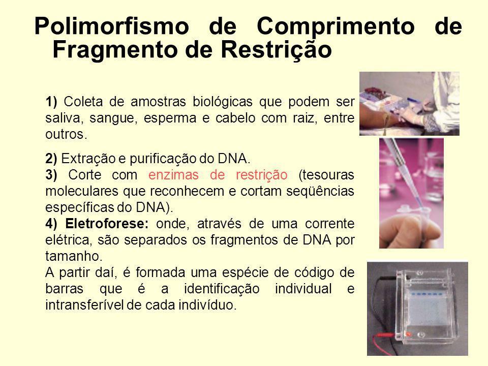 Polimorfismo de Comprimento de Fragmento de Restrição 1) Coleta de amostras biológicas que podem ser saliva, sangue, esperma e cabelo com raiz, entre