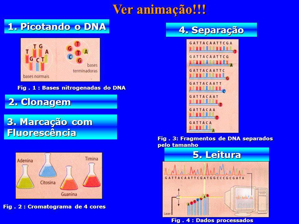 1. Picotando o DNA 2. Clonagem 3. Marcação com Fluorescência 4. Separação 5. Leitura Fig. 1 : Bases nitrogenadas do DNA Fig. 2 : Cromatograma de 4 cor