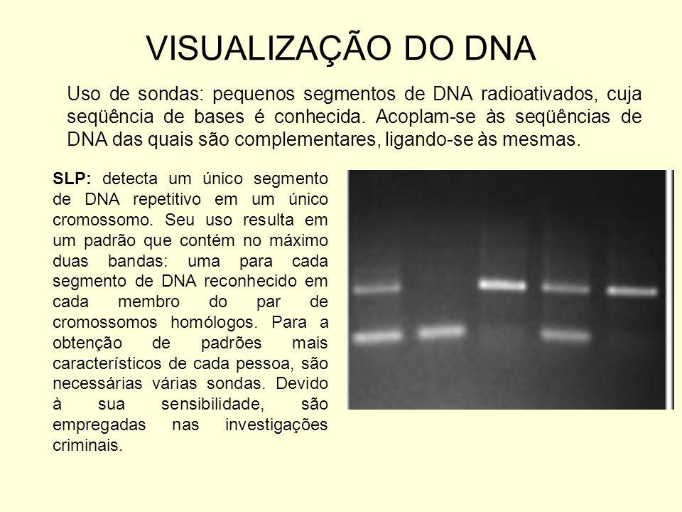 VISUALIZAÇÃO DO DNA Uso de sondas: pequenos segmentos de DNA radioativados, cuja seqüência de bases é conhecida. Acoplam-se às seqüências de DNA das q