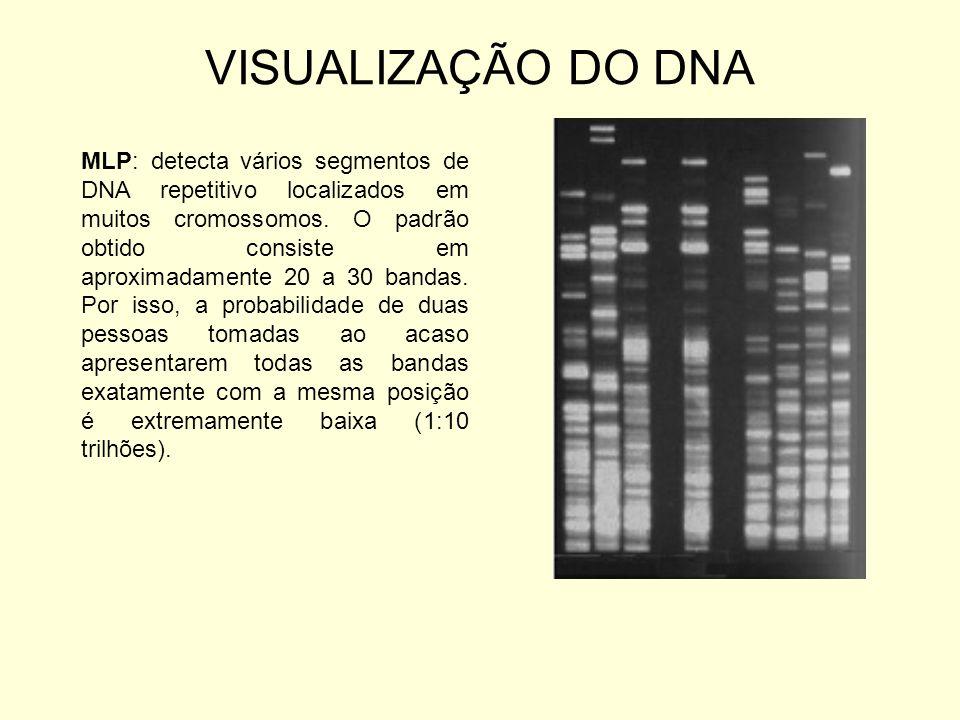 VISUALIZAÇÃO DO DNA MLP: detecta vários segmentos de DNA repetitivo localizados em muitos cromossomos. O padrão obtido consiste em aproximadamente 20