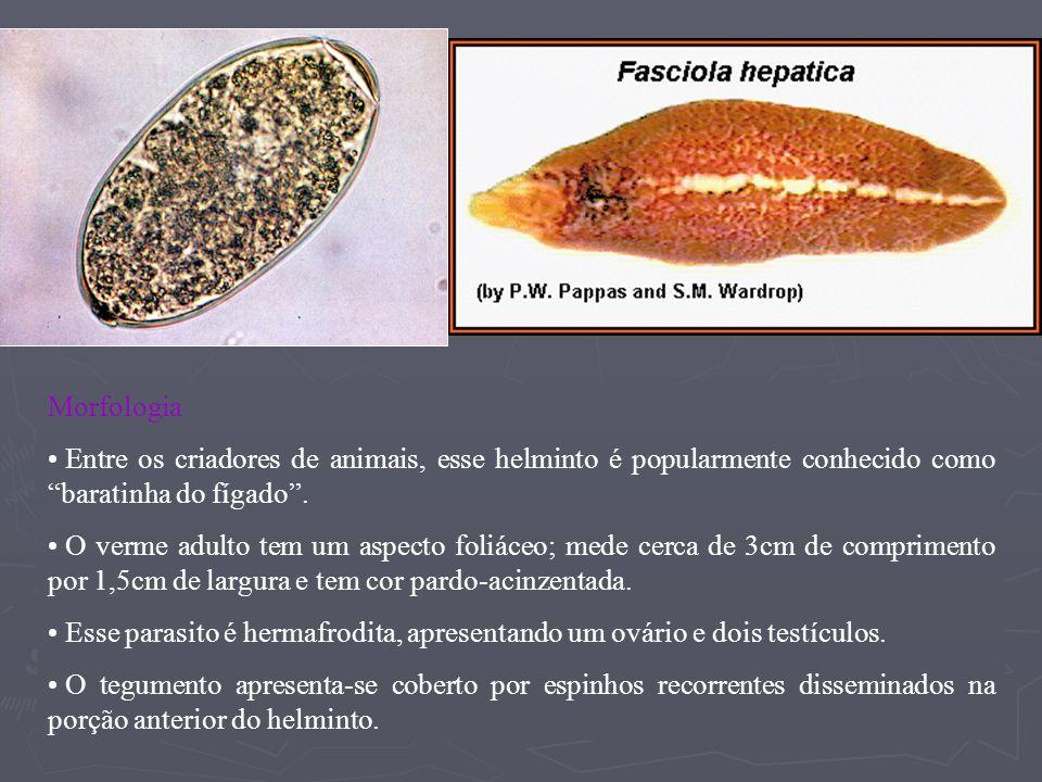 Morfologia Entre os criadores de animais, esse helminto é popularmente conhecido como baratinha do fígado.