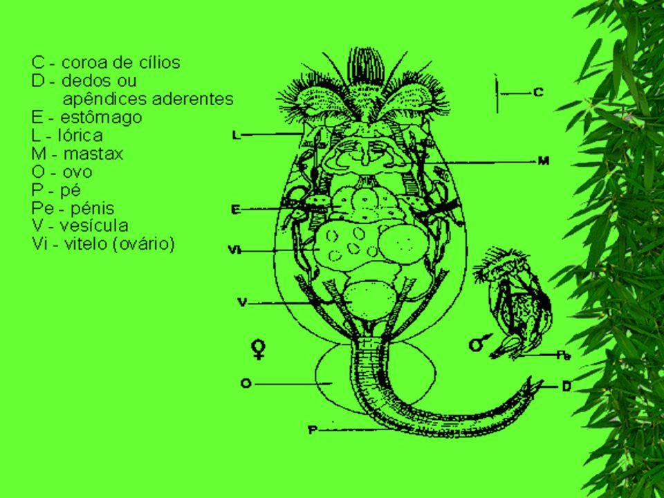 História Natural Cosmopolitas Vida livre e solitária Água doce e calma, com muitas vegetações aquáticas Alimentam-se de detritos orgânicos assim como outros organismos Servem de alimento para vermes e pequenos crustáceos