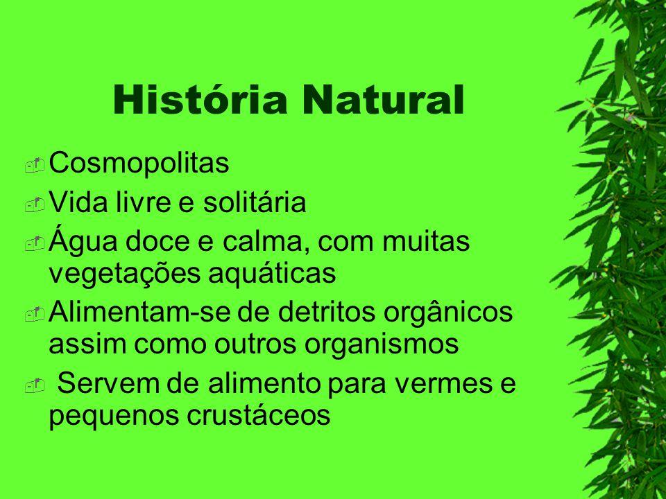 História Natural Cosmopolitas Vida livre e solitária Água doce e calma, com muitas vegetações aquáticas Alimentam-se de detritos orgânicos assim como