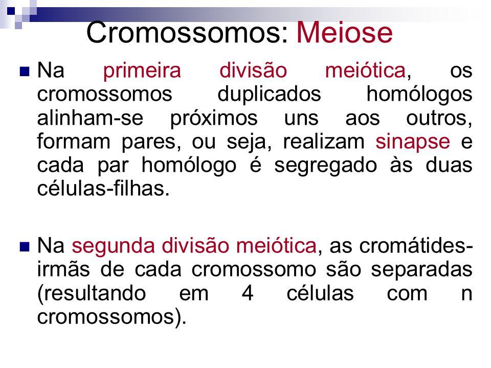 Na primeira divisão meiótica, os cromossomos duplicados homólogos alinham-se próximos uns aos outros, formam pares, ou seja, realizam sinapse e cada p