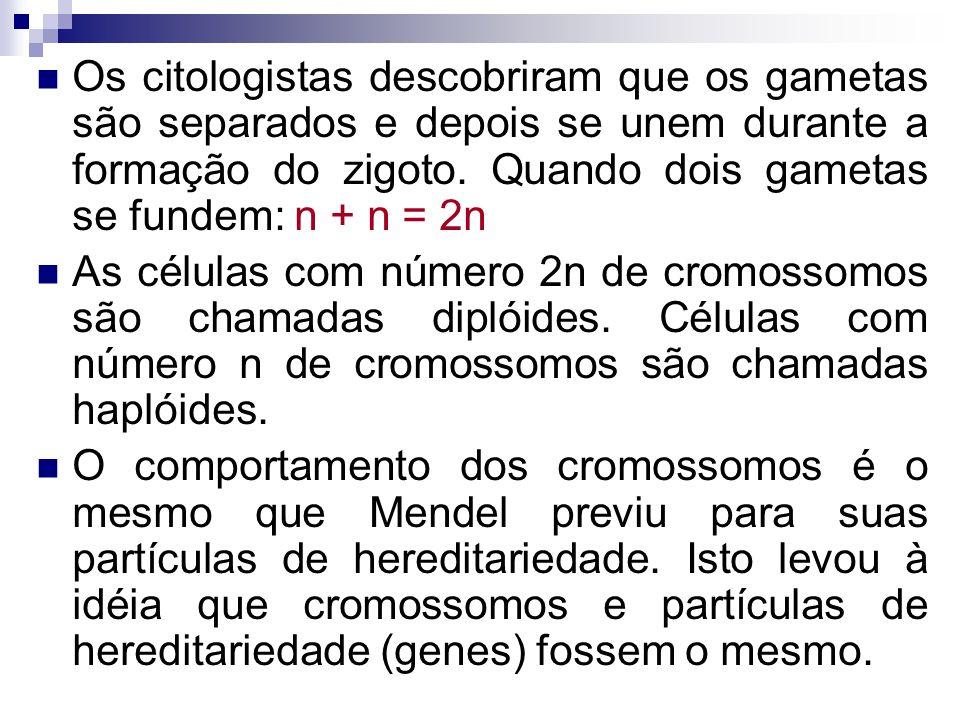 Os citologistas descobriram que os gametas são separados e depois se unem durante a formação do zigoto. Quando dois gametas se fundem: n + n = 2n As c