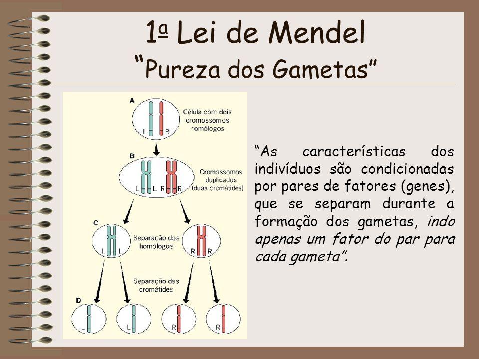 1 a Lei de Mendel Pureza dos Gametas As características dos indivíduos são condicionadas por pares de fatores (genes), que se separam durante a formaç