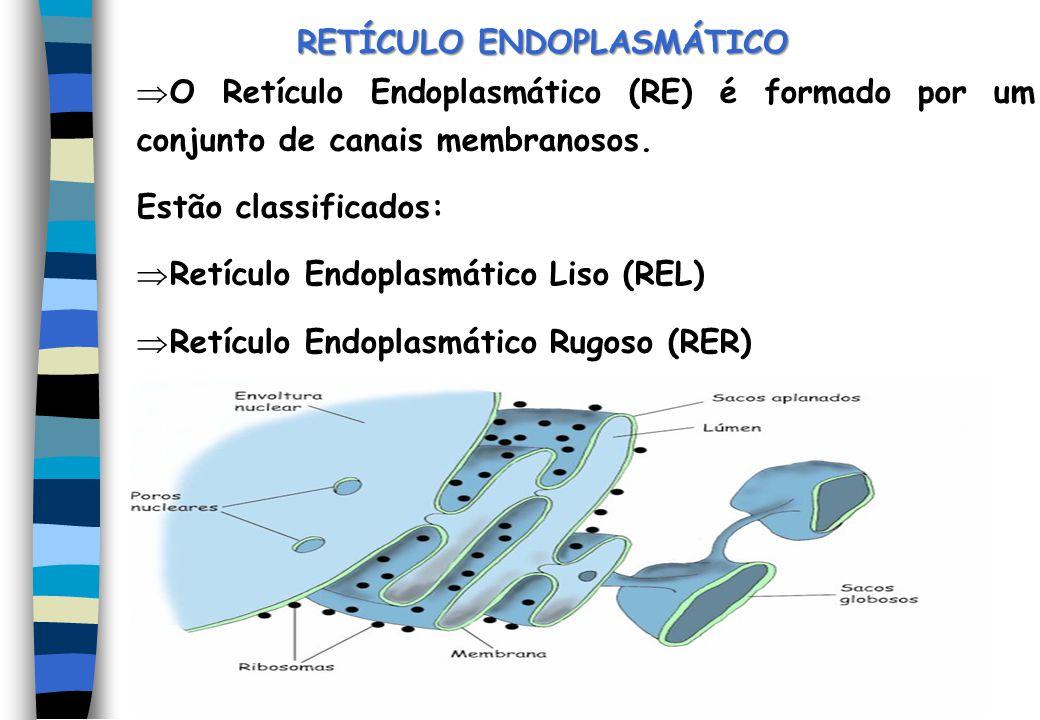 RETÍCULO ENDOPLASMÁTICO O Retículo Endoplasmático (RE) é formado por um conjunto de canais membranosos. Estão classificados: Retículo Endoplasmático L