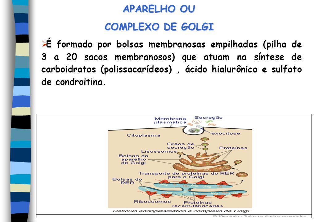 APARELHO OU COMPLEXO DE GOLGI É formado por bolsas membranosas empilhadas (pilha de 3 a 20 sacos membranosos) que atuam na síntese de carboidratos (po