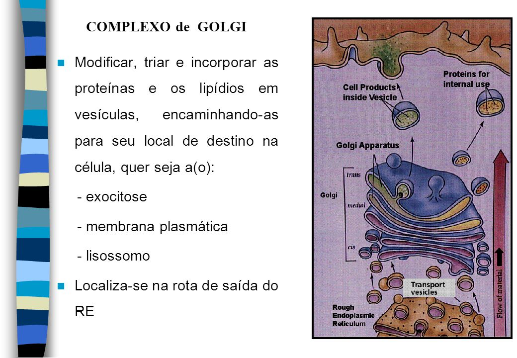 COMPLEXO de GOLGI Modificar, triar e incorporar as proteínas e os lipídios em vesículas, encaminhando-as para seu local de destino na célula, quer sej