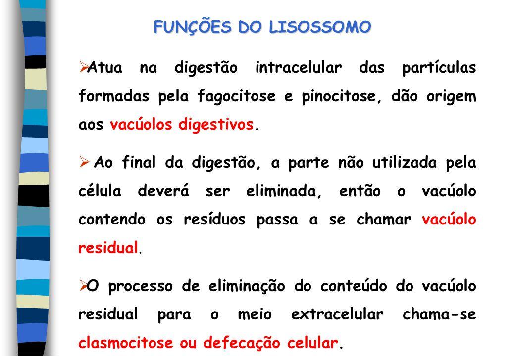 FUNÇÕES DO LISOSSOMO Atua na digestão intracelular das partículas formadas pela fagocitose e pinocitose, dão origem aos vacúolos digestivos. Ao final