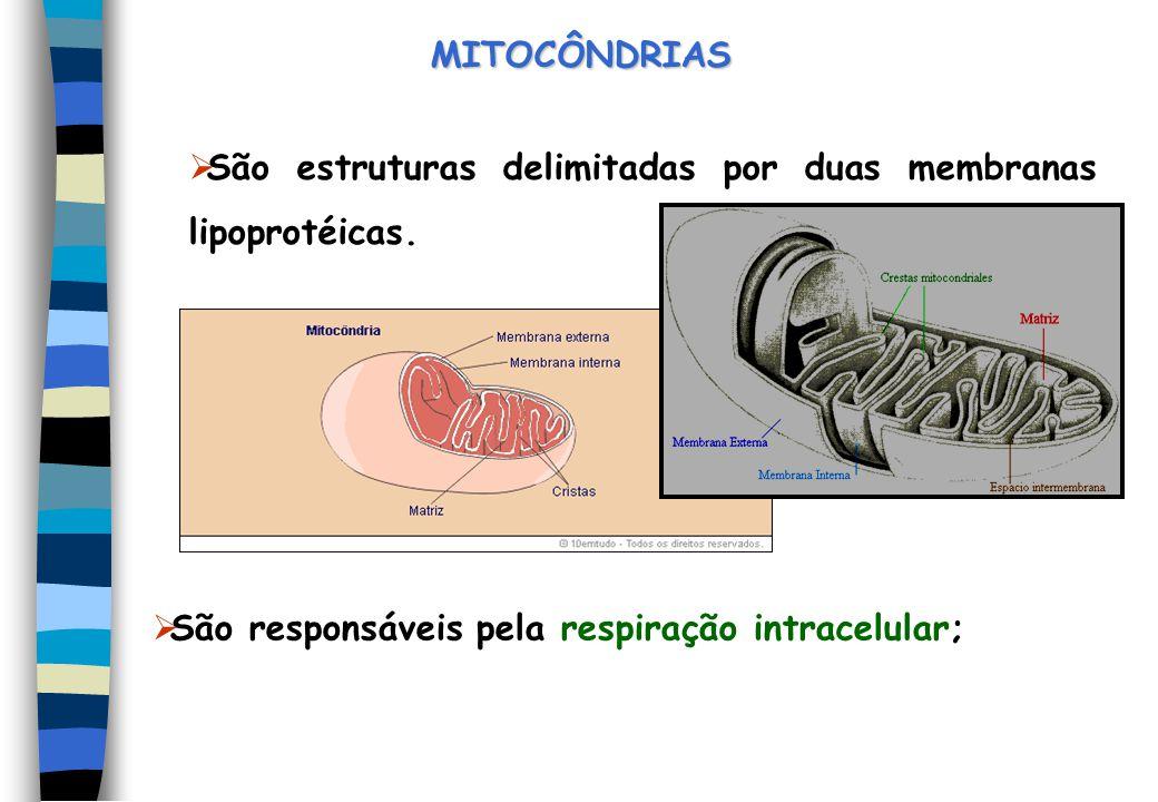 São estruturas delimitadas por duas membranas lipoprotéicas. MITOCÔNDRIAS São responsáveis pela respiração intracelular;
