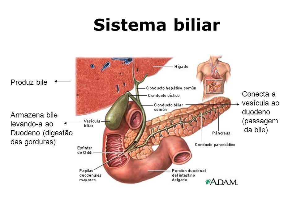 Armazena bile levando-a ao Duodeno (digestão das gorduras) Produz bile Conecta a vesícula ao duodeno (passagem da bile) Sistema biliar