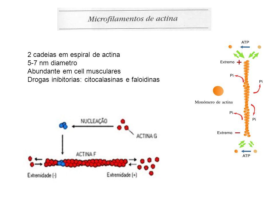 2 cadeias em espiral de actina 5-7 nm diametro Abundante em cell musculares Drogas inibitorias: citocalasinas e faloidinas