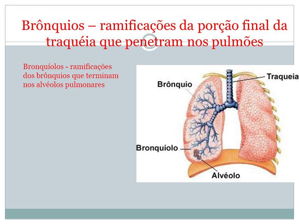 Brônquios – ramificações da porção final da traquéia que penetram nos pulmões Bronquíolos - ramificações dos brônquios que terminam nos alvéolos pulmo