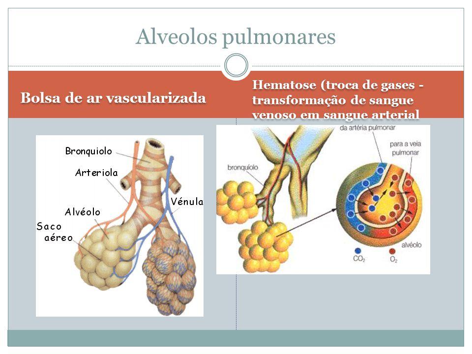 Bolsa de ar vascularizada Hematose (troca de gases - transformação de sangue venoso em sangue arterial Hematose (troca de gases - transformação de san