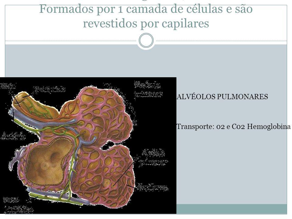 Pequenas câmaras esféricas onde ocorrem as trocas gasosas; Formados por 1 camada de células e são revestidos por capilares AALVÉOLOS PULMONARES Transp