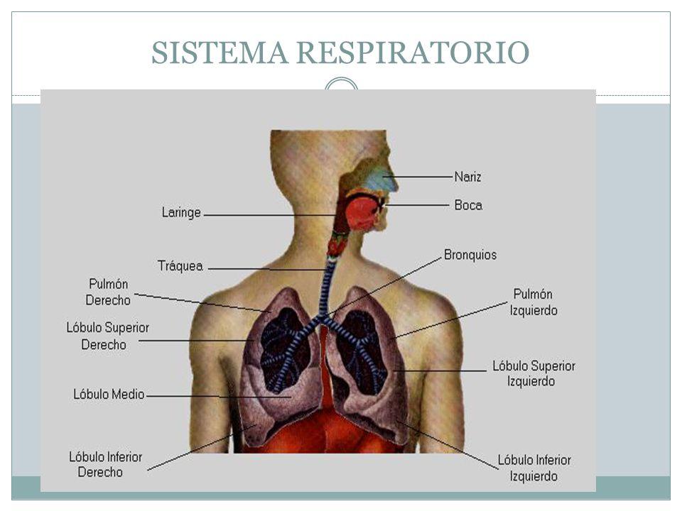 FARINGE Cavidade comum ao sistema digestório e respiratório Epiglote – bloqueio da entrada de alimentos no sistema respiratório Pregas vocais – produção de sons durante a passagem de ar FUNÇÕES DO SISTEMA RESPIRATÓRIO FARINGE