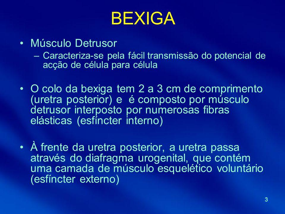 3 BEXIGA Músculo Detrusor –Caracteriza-se pela fácil transmissão do potencial de acção de célula para célula O colo da bexiga tem 2 a 3 cm de comprime