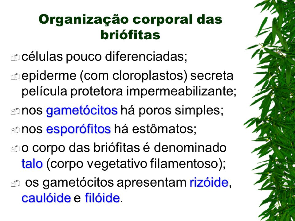 Organização corporal das briófitas células pouco diferenciadas; epiderme (com cloroplastos) secreta película protetora impermeabilizante; gametócitos nos gametócitos há poros simples; esporófitos nos esporófitos há estômatos; talo o corpo das briófitas é denominado talo (corpo vegetativo filamentoso); rizóide caulóidefilóide os gametócitos apresentam rizóide, caulóide e filóide.