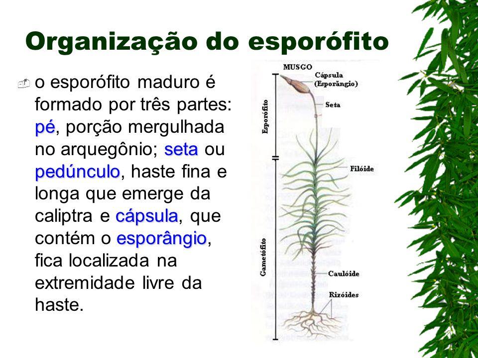 Organização do esporófito pé seta pedúnculo cápsula esporângio o esporófito maduro é formado por três partes: pé, porção mergulhada no arquegônio; seta ou pedúnculo, haste fina e longa que emerge da caliptra e cápsula, que contém o esporângio, fica localizada na extremidade livre da haste.
