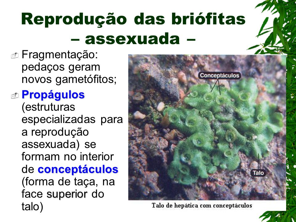 Reprodução das briófitas – assexuada – Fragmentação: pedaços geram novos gametófitos; Propágulos conceptáculos superior Propágulos (estruturas especializadas para a reprodução assexuada) se formam no interior de conceptáculos (forma de taça, na face superior do talo)