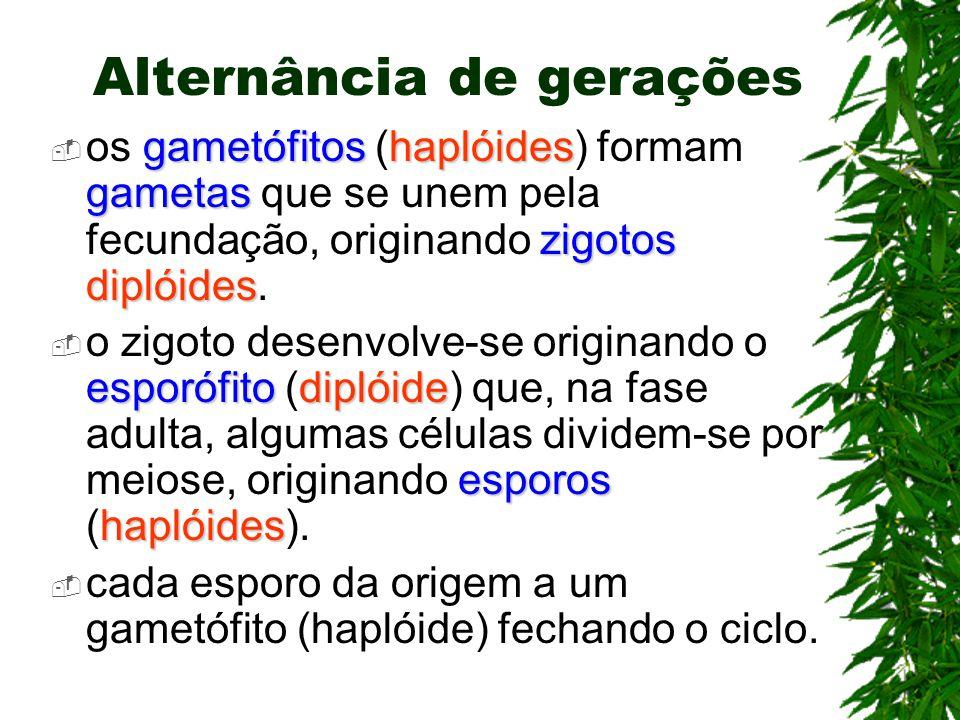 Alternância de gerações gametófitoshaplóides gametas zigotos diplóides os gametófitos (haplóides) formam gametas que se unem pela fecundação, originando zigotos diplóides.