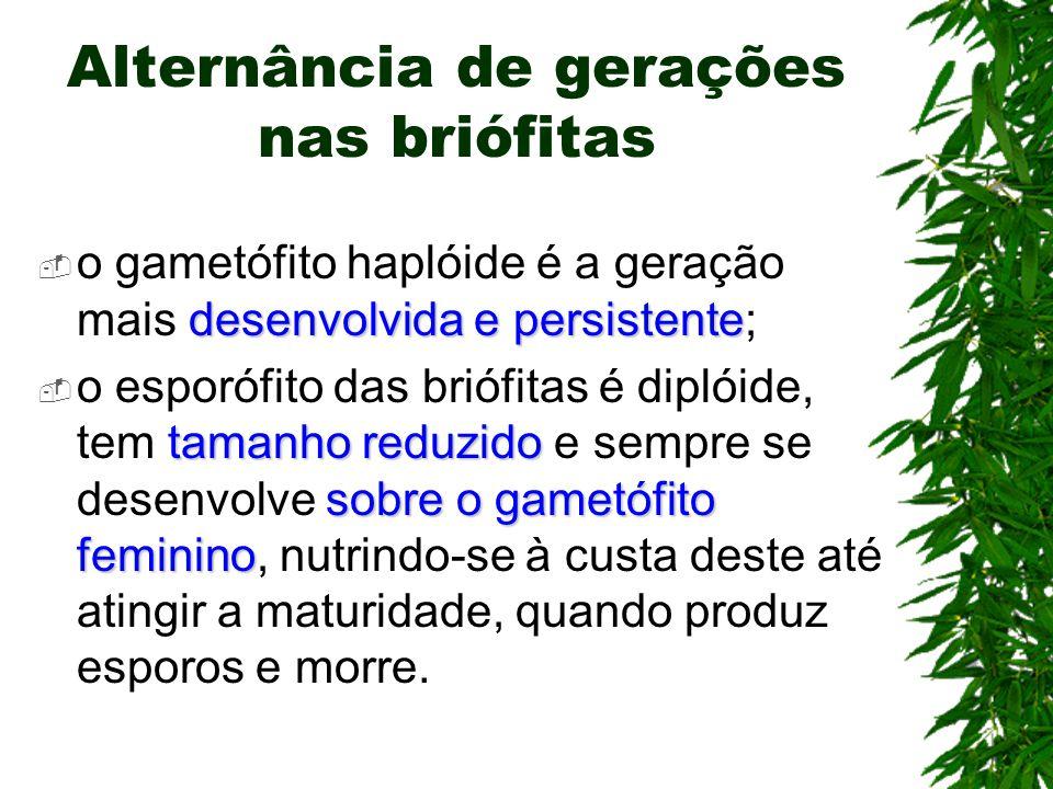 Alternância de gerações nas briófitas desenvolvida e persistente o gametófito haplóide é a geração mais desenvolvida e persistente; tamanho reduzido s