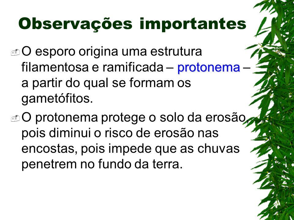 Observações importantes protonema O esporo origina uma estrutura filamentosa e ramificada – protonema – a partir do qual se formam os gametófitos. O p