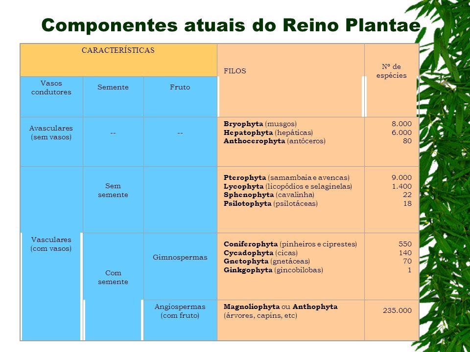Componentes atuais do Reino Plantae CARACTERÍSTICAS FILOS Nº de espécies Vasos condutores SementeFruto Avasculares (sem vasos) -- Bryophyta (musgos) Hepatophyta (hepáticas) Anthocerophyta (antóceros) 8.000 6.000 80 Vasculares (com vasos) Sem semente Pterophyta (samambaia e avencas) Lycophyta (licopódios e selaginelas) Sphenophyta (cavalinha) Psilotophyta (psilotáceas) 9.000 1.400 22 18 Com semente Gimnospermas Coniferophyta (pinheiros e ciprestes) Cycadophyta (cicas) Gnetophyta (gnetáceas) Ginkgophyta (gincobilobas) 550 140 70 1 Angiospermas (com fruto) Magnoliophyta ou Anthophyta (árvores, capins, etc) 235.000