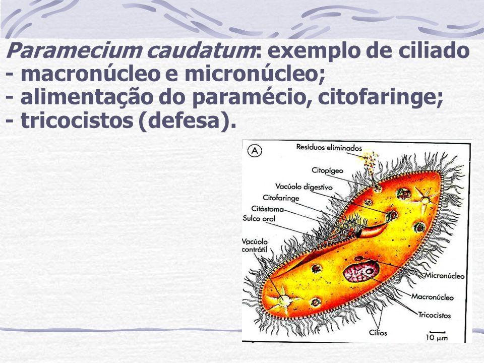 Paramecium caudatum: exemplo de ciliado - macronúcleo e micronúcleo; - alimentação do paramécio, citofaringe; - tricocistos (defesa).