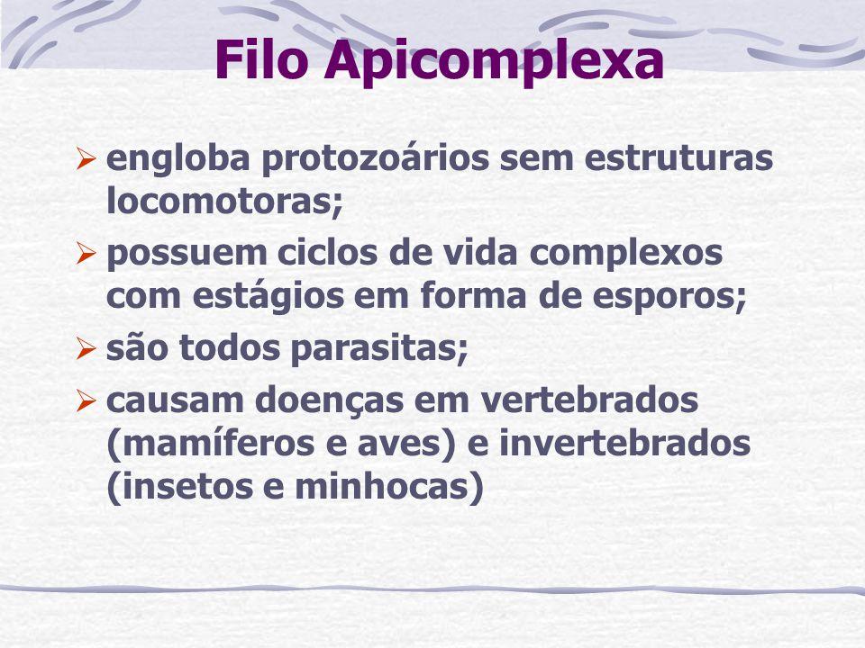 Filo Apicomplexa engloba protozoários sem estruturas locomotoras; possuem ciclos de vida complexos com estágios em forma de esporos; são todos parasit