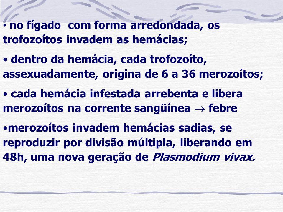no fígado com forma arredondada, os trofozoítos invadem as hemácias; dentro da hemácia, cada trofozoíto, assexuadamente, origina de 6 a 36 merozoítos;