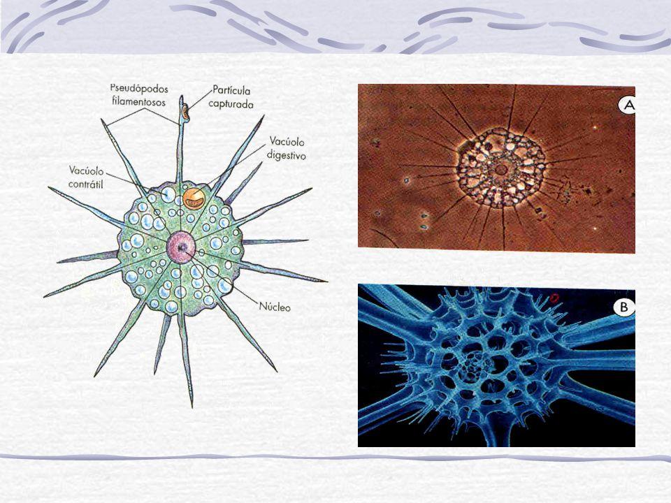 Dentro das hemácias alguns merozoítos se diferenciam e gametócitos masculinos e femi- ninos e poderão contaminar um novo mosquito.
