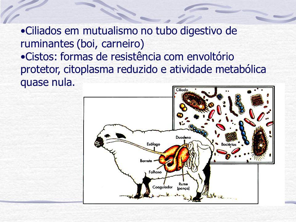 Ciliados em mutualismo no tubo digestivo de ruminantes (boi, carneiro) Cistos: formas de resistência com envoltório protetor, citoplasma reduzido e at