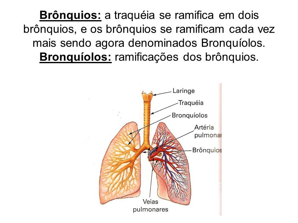 Brônquios: a traquéia se ramifica em dois brônquios, e os brônquios se ramificam cada vez mais sendo agora denominados Bronquíolos. Bronquíolos: ramif