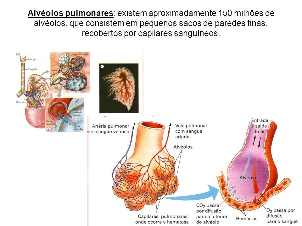 Alvéolos pulmonares: existem aproximadamente 150 milhões de alvéolos, que consistem em pequenos sacos de paredes finas, recobertos por capilares sangu