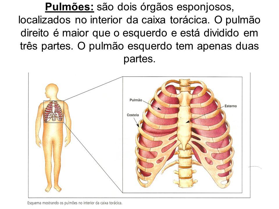 Pulmões: são dois órgãos esponjosos, localizados no interior da caixa torácica. O pulmão direito é maior que o esquerdo e está dividido em três partes