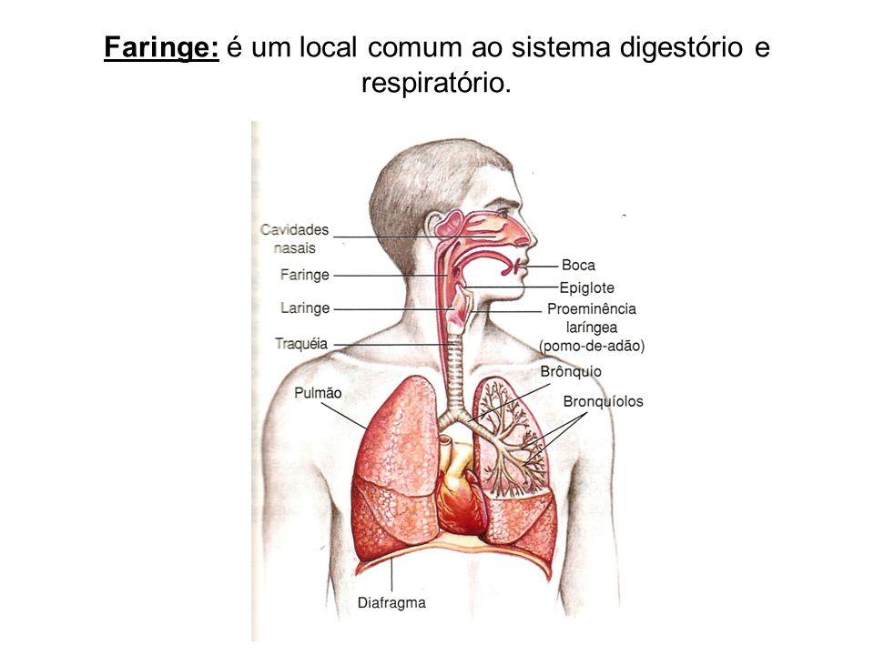 Faringe: é um local comum ao sistema digestório e respiratório.