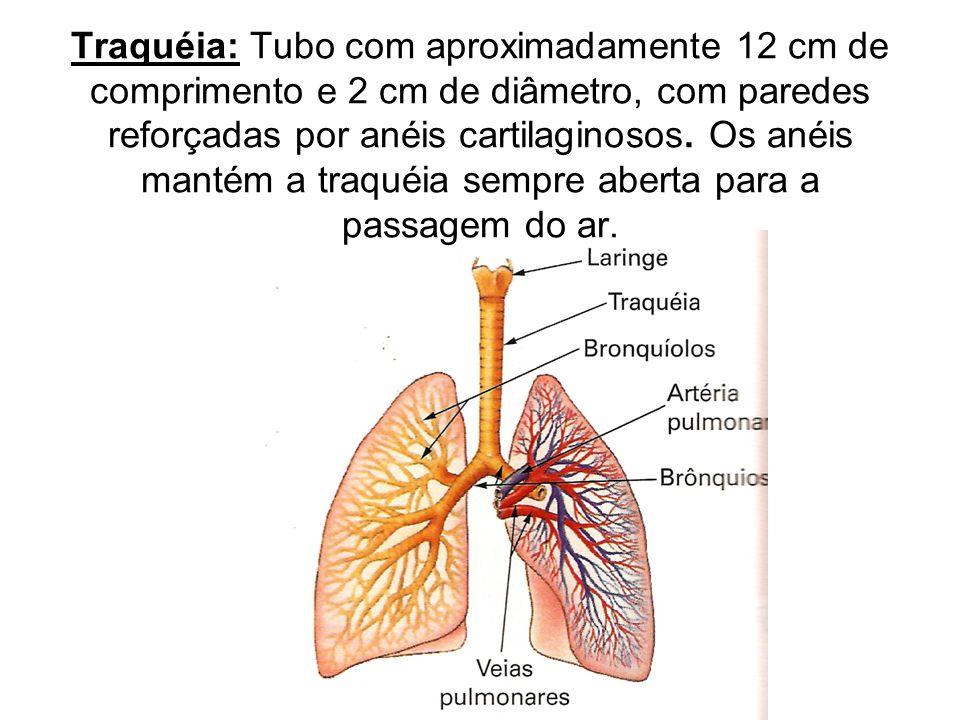 O controle do ritmo involuntário da respiração é exercido principalmente pelo bulbo.